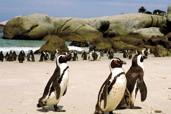 cape agulhas penguin